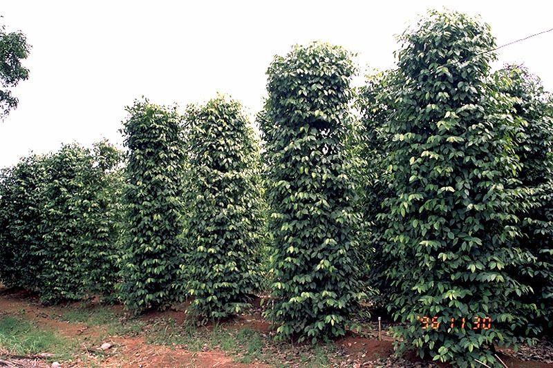 Перец черный горький горошком выращивание 3